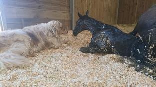 Otis black lusitano foal