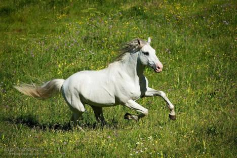 Cheval lusitanien gris