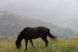 Poulinière lusitanienne noire 3