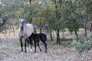 Cheval lusitanien grullo yeux bleus