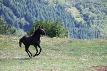 Oxana du Mezenc pouliche PSL noire
