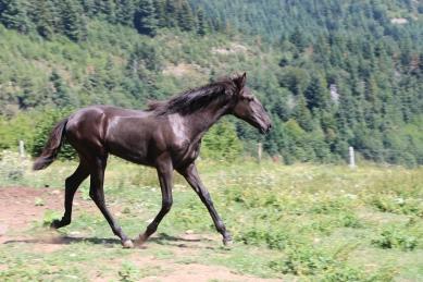 Oxana black lusitano filly