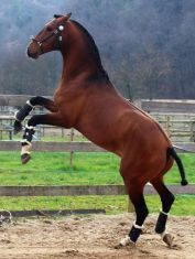 Indigo lusitano stallion by Escorial