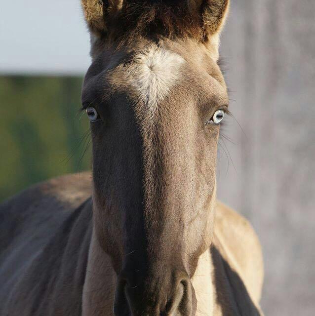PSL cheval lusitanien grullo yeux bleus
