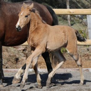 Buckskin Lusitano filly