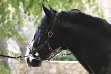 Quazar cheval lusitanien noir yeux bleus