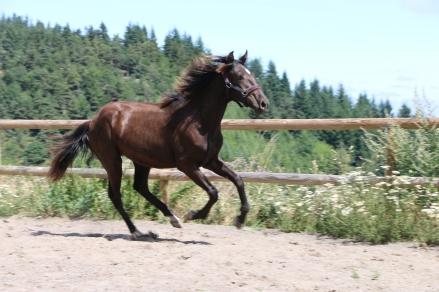 black lusitano foal Otis