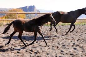 Black lusitano foal