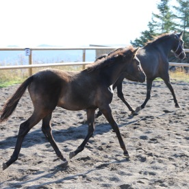 Black lusitano filly