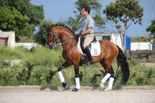 Escorial lusitano stallion