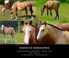 buckskin lusitano foal Nabucco