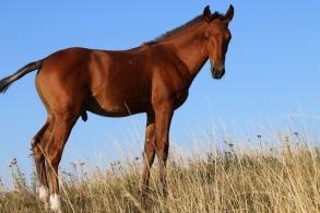 bay lusitano foal by campeador
