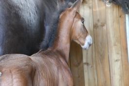 lusitano bay foal